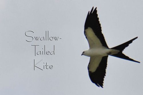 swallow-tailed-kite_1036-64txt.jpg