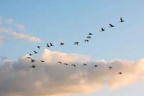 white-ibis-flight_3907-64.jpg