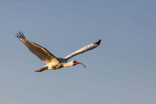 white-ibis-flight_4735-64.jpg