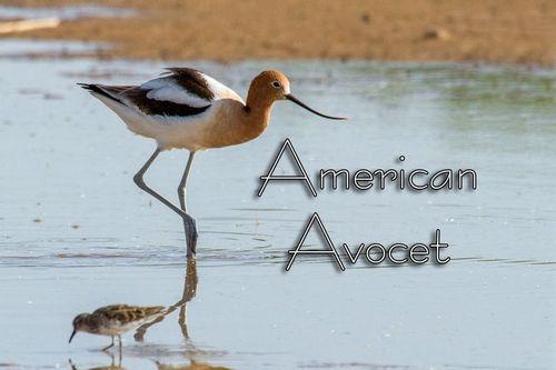 american-avocet_4152txt-64.jpg