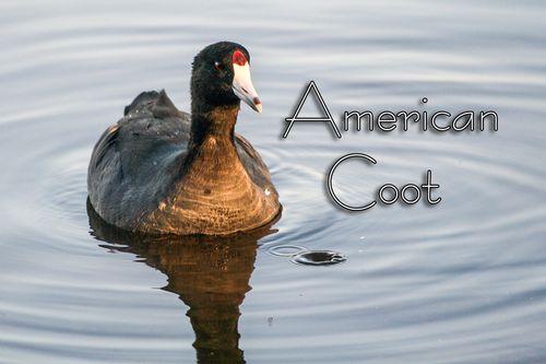 american-coot_1176txt-64.jpg
