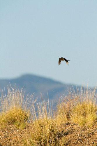 ash-throated flycatcher_5970-461.jpg