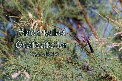 black-tailed-gnatcatcher_1327txt-64.jpg