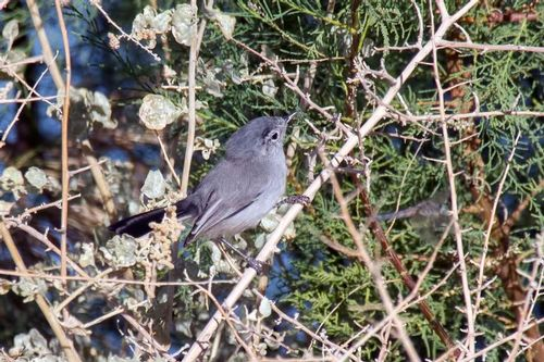 black-tailed-gnatcatcher_1328-64.jpg