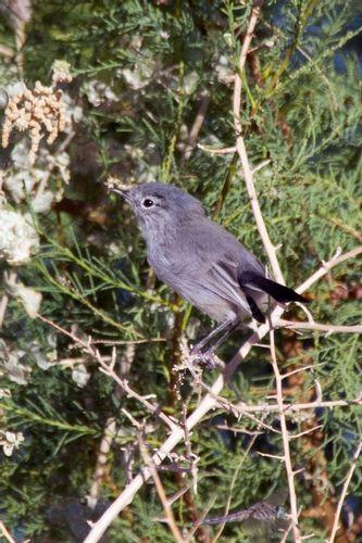 black-tailed-gnatcatcher_1331-64.jpg
