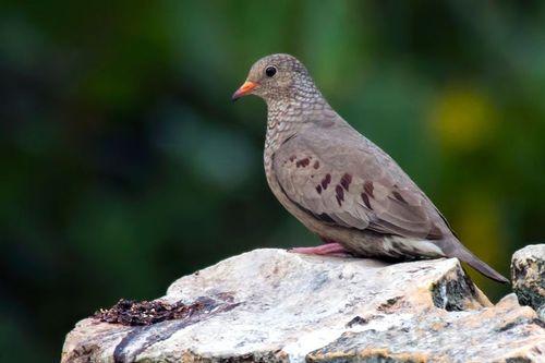 common-ground-dove_3888-64.jpg