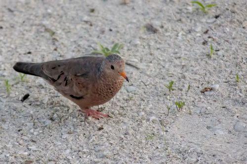 common-ground-dove_5258-64.jpg