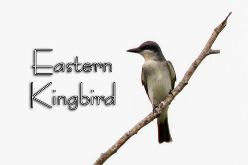 eastern-kingbird_3963txt-64.jpg