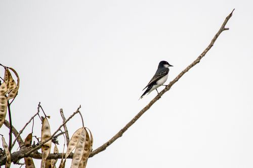 eastern-kingbird_3971-64.jpg