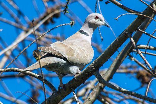 eurasian-collared-dove_1117-64.jpg