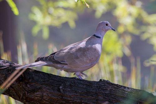 eurasian-collared-dove_7317-64.jpg