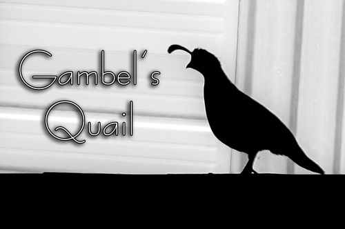 gambels-quail_1031txt-64.jpg