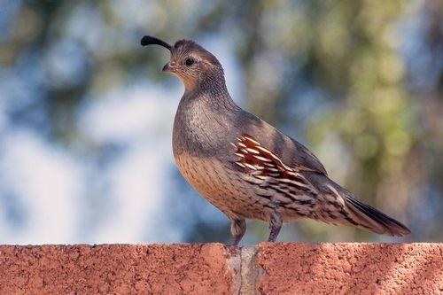 gambels-quail_2841-641.jpg
