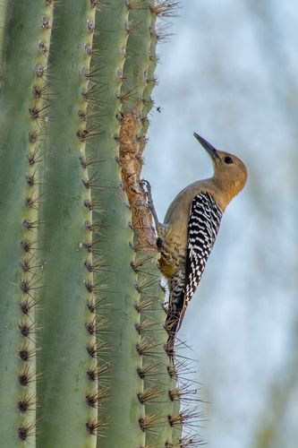 gila-woodpecker_2732-46.jpg