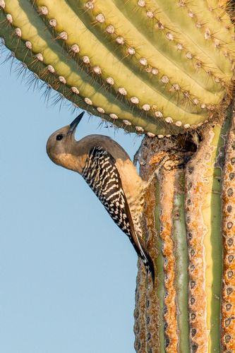 gila-woodpecker_3171-46.jpg