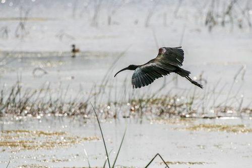 glossy-ibis_1349-64.jpg