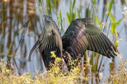 glossy-ibis_1620-64.jpg
