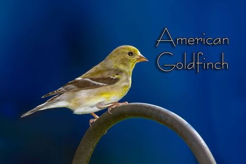 goldfinch-3136atxt-64.jpg