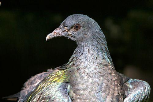 nicobar-pigeon_1816-641.jpg