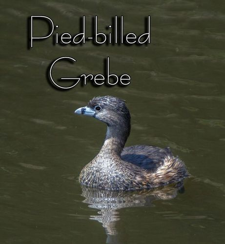 pied-billed-grebe_6664txt.jpg