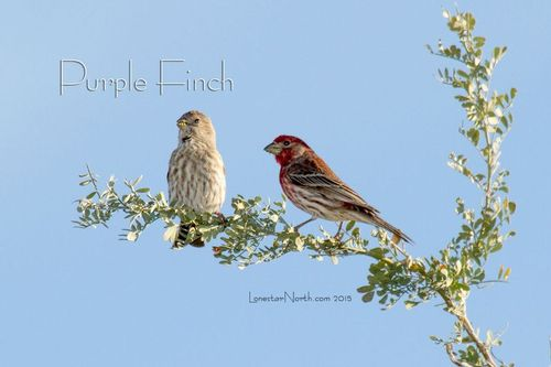 purple-finches_2892-64txt1.jpg
