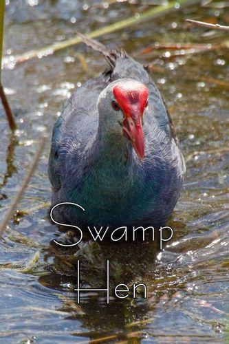 swamp-hen_9946txt-46.jpg