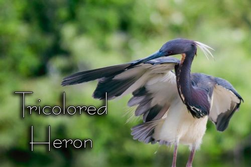 tri-colored_preen_2533txt-64.jpg