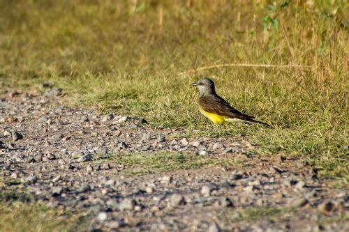 western-kingbird_5499-64.jpg