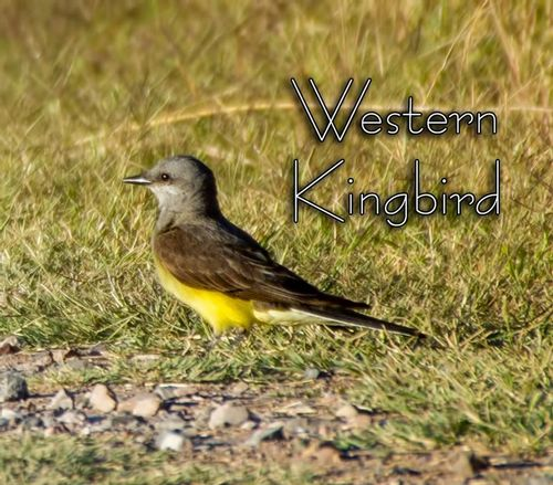 western-kingbird_5499txt-64.jpg