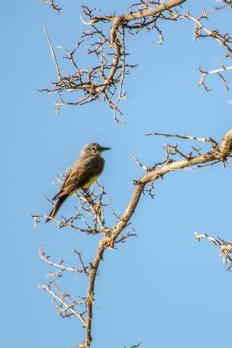 western-kingbird_5504-46.jpg