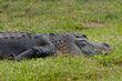 alligator_0943-64.jpg