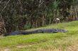 alligator_0945-64.jpg