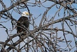 Bald Eagle in Cohoes 035 Taken 1-27-09.jpg