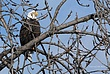 Bald Eagle in Cohoes 039 Taken 1-27-09.jpg