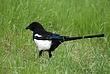 Black-billed Magpie 009 Taken 6-12-09.jpg