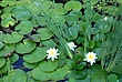 Water Lilies 010 Taken 8-24-08.jpg