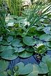 Water Lilies 012 Taken 8-24-08.jpg