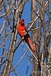 Cardinal 020 in Clifton Park Taken 4-15-09.jpg