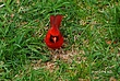Cardinal 041 in Clifton Park Taken 4-26-10.jpg