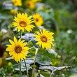 14 Sunflowers-6775.jpg