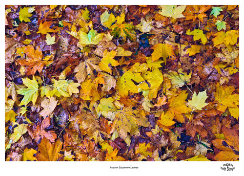Autumn-Sycamore.jpg