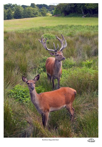 Red Deer Stag with Hind.jpg