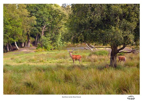 Red Deer in the New Forest.jpg