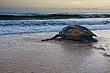 leatherback_turtle_trindad_003.jpg