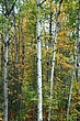 Birch Vermont DSC_0374.jpg