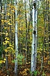 Birch Vermont DSC_0375.jpg