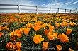 Poppy4_14-33.jpg