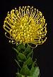 Pin Cushion Protea 03.jpg