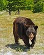 American-Black-Bear-1.jpg