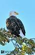 Bald Eagle 2 Yellowstone NP.jpg